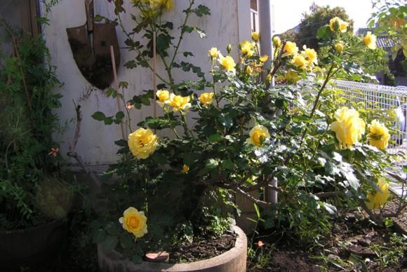 薔薇の植栽。庭に使う鉢やツタを這わせるワイヤーなどは身近な建築資材を使い設置。