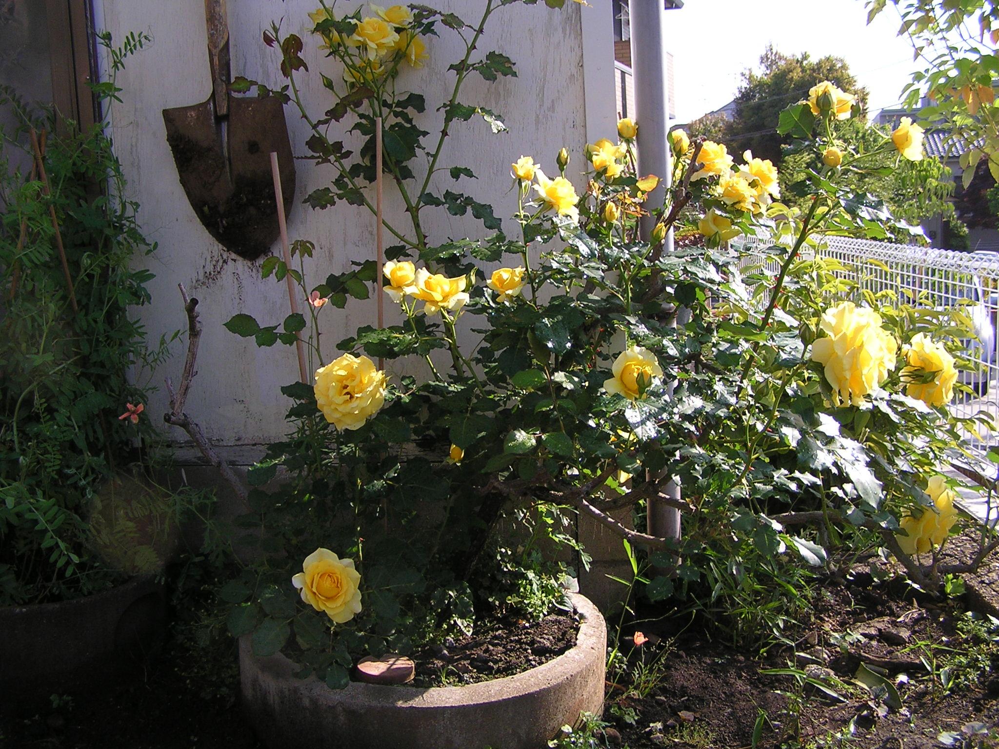 建築資材,植木鉢,リメイク,プランター,バラ,植え込み