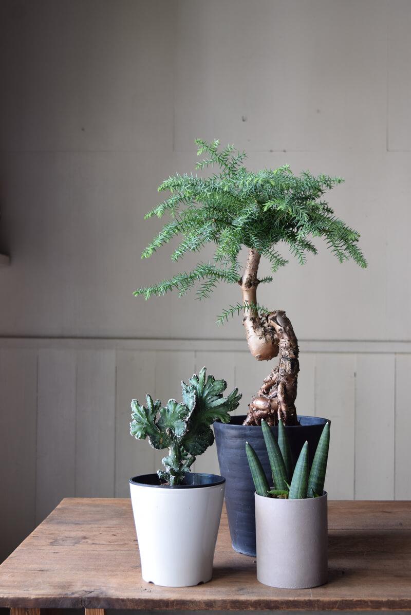 絵やアート作品を飾るような感覚で、珍種だったり、造形的にオブジェのように美しい植物を飾っても素敵です。