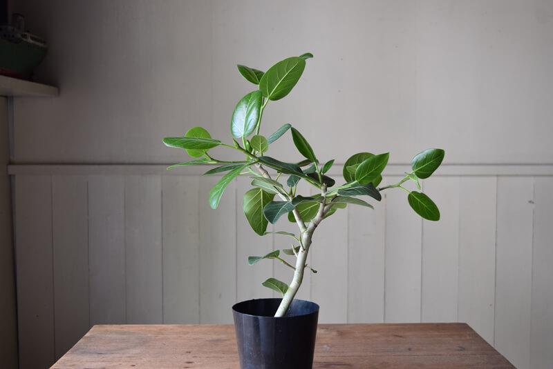 ベンガレンシスは枝が白っぽく、葉っぱも表面が起毛し、明るい色をしているので、明るい印象にしてくれます。