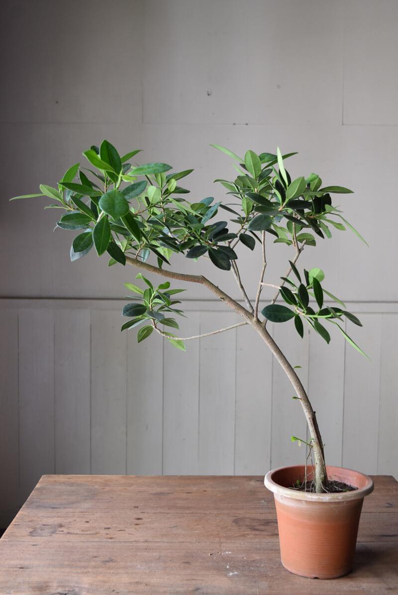 ガジュマルは枝から土に向かって伸びる根が野性的で、室内にアウトドアな雰囲気を取り入れるのに最適です。