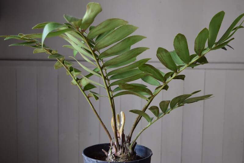 ザミアはソテツの仲間でオリエンタルな雰囲気があり、葉っぱや株元の固まりも個性的で、インテリアの印象を変えるにはもちろん、植物としても個性があって楽しめます。