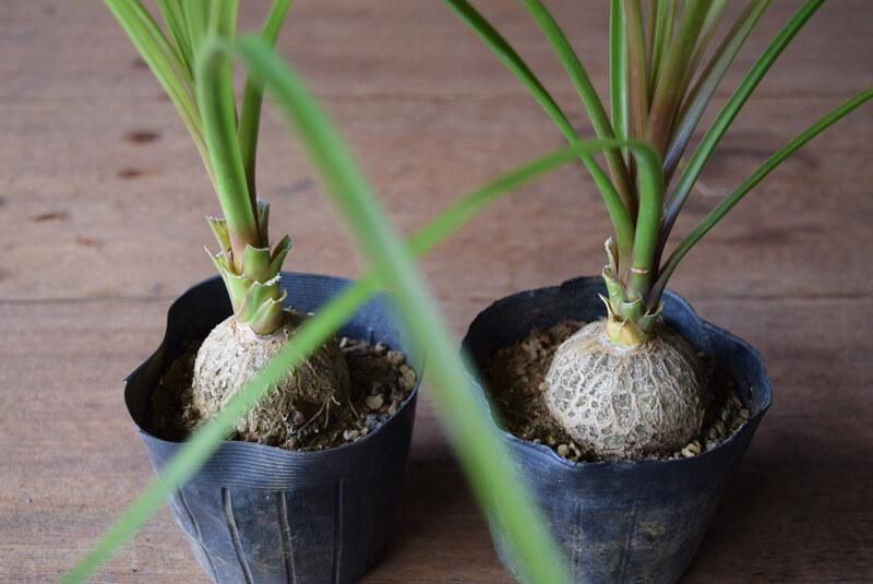 トックリランも株元の膨らみが可愛く、浅い鉢などで目線の高さに株元を合わせて鑑賞とともにインテリアに彩りを添える植物です。