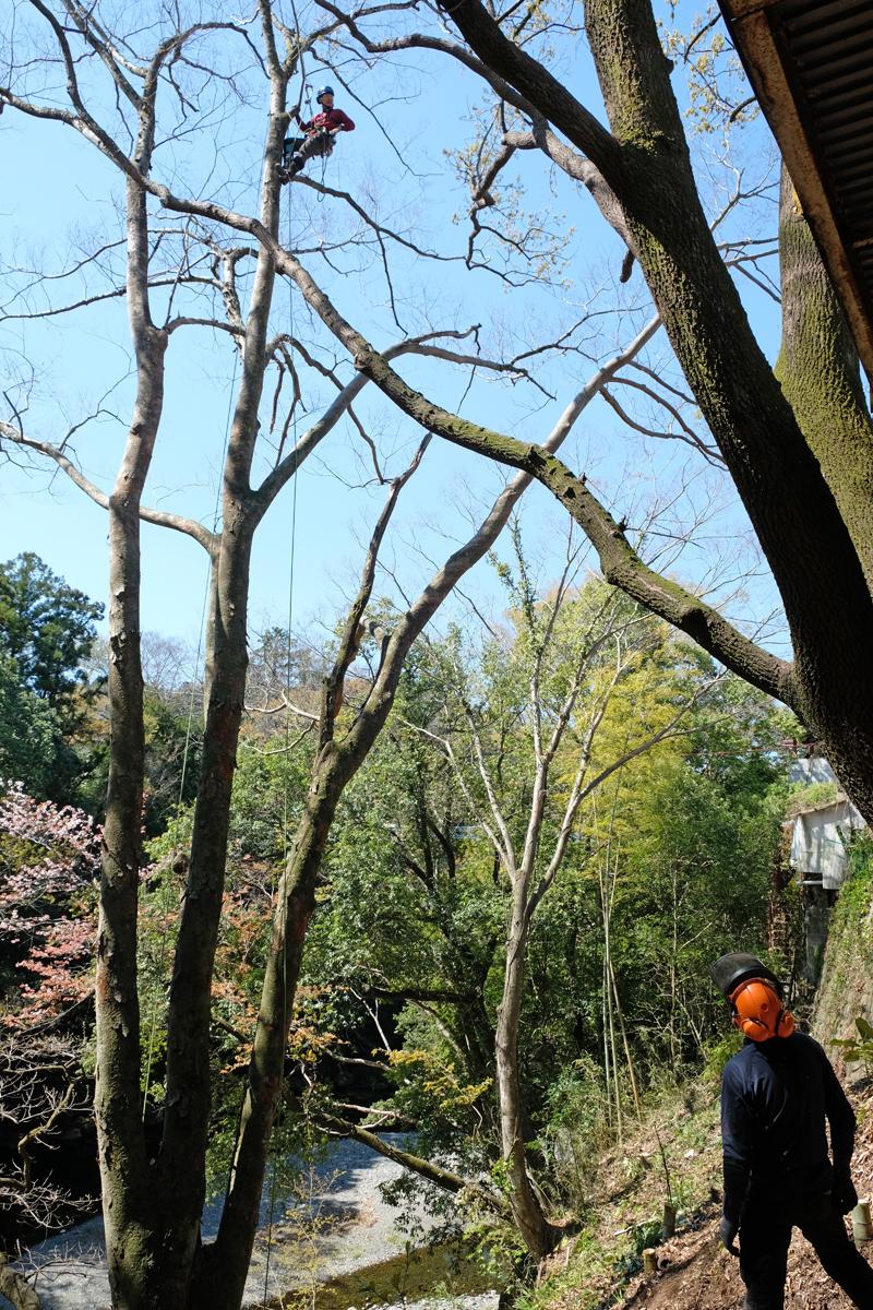 力丸造園の西力太さんは一般のお庭の仕事や造園、外構の仕事など、伐採の特殊技術を持つアーボリストでもあります。