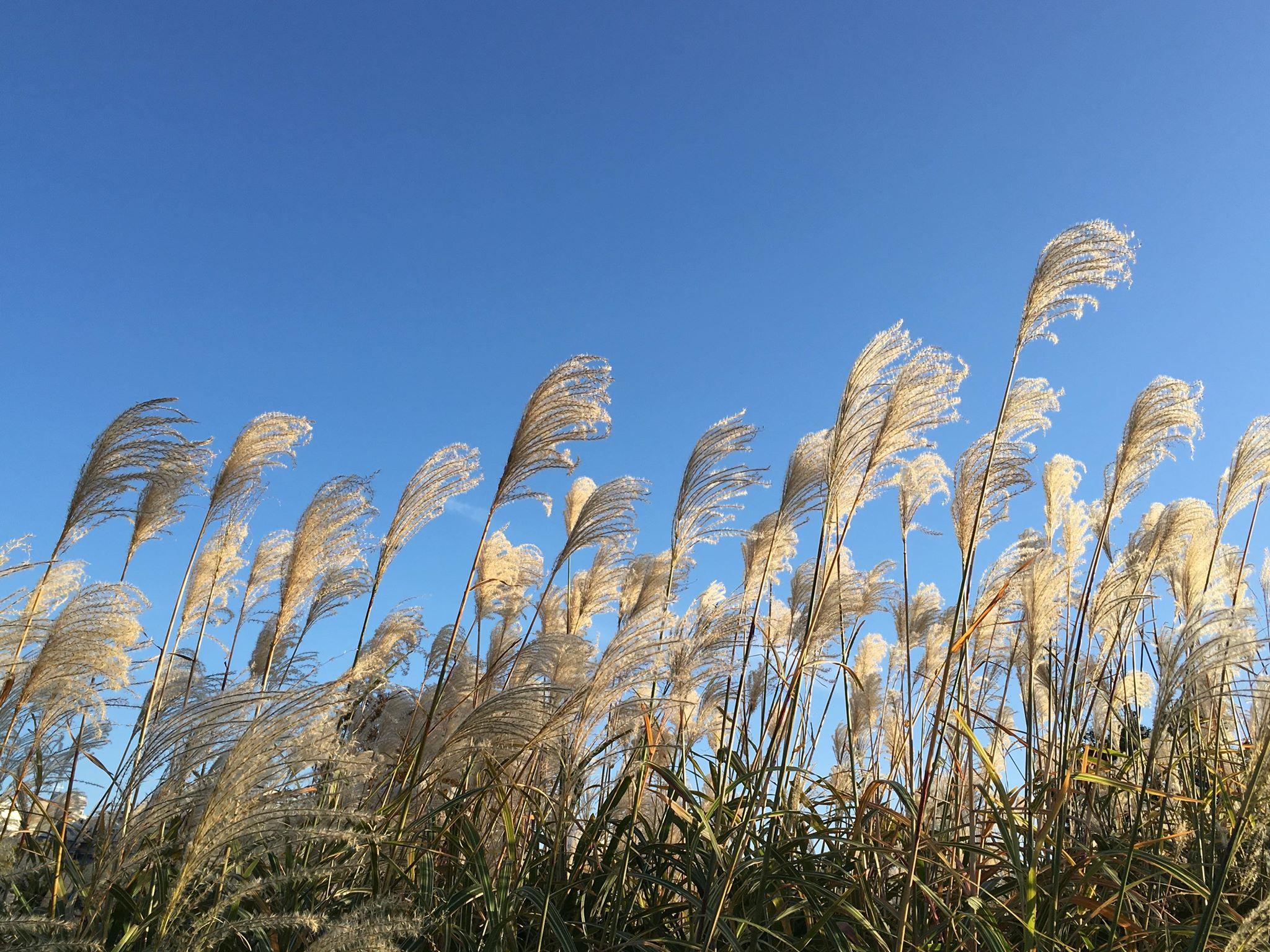 ススキがきれいな公園,秋の風情